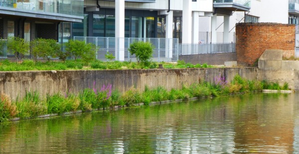 New reed beds on Limehouse Cut