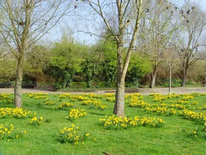 Daffodils in Millwall Park
