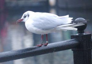 Lithuanian-ringed Black-headed Gull