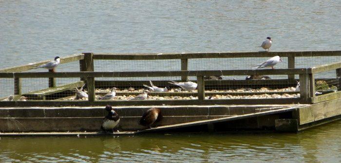 Common Terns on raft