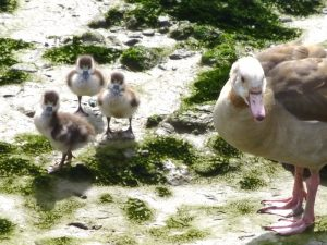 Egyptian Goose with goslings