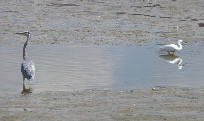 Little Egret and Grey Haron