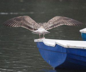 Lesser Black-backed Gull 1st winter