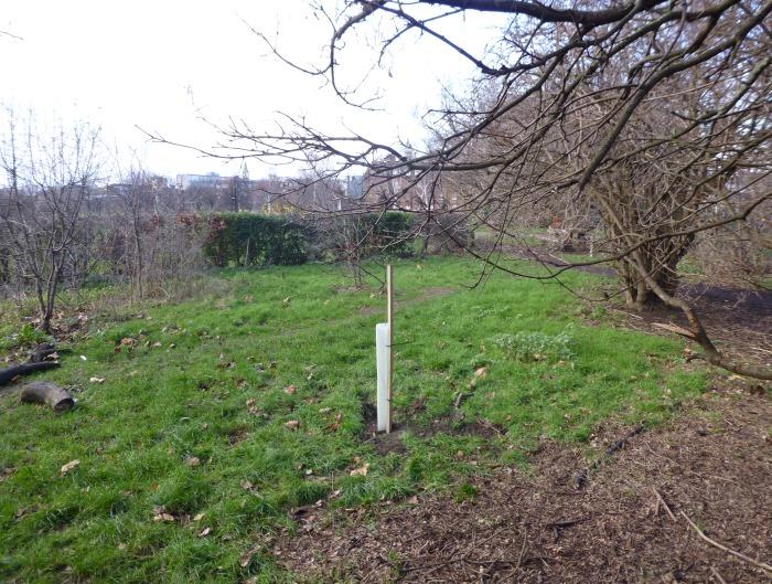 Poplar planted in Weavers Field