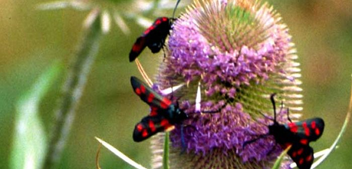 Burnet moths on teasel