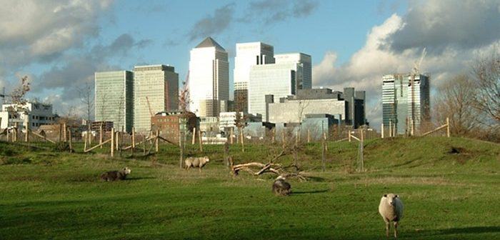 Mudchute - sheep grazing in front of Canary Wharf