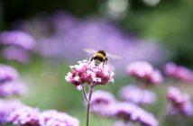 Buff-tailed Bumblebee on Verbena