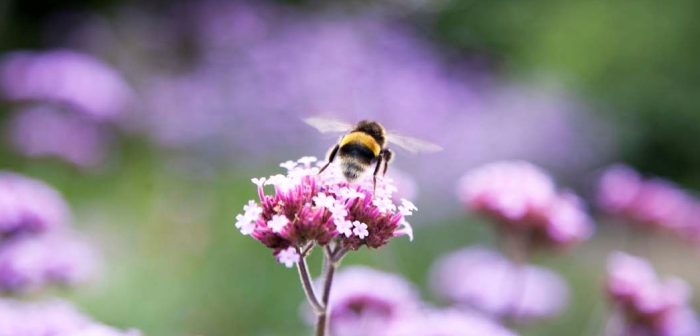 Buff-tailed Bumblebee on Verbena
