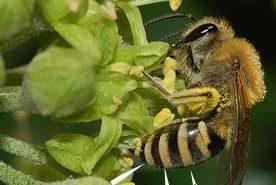 Ivy Bee