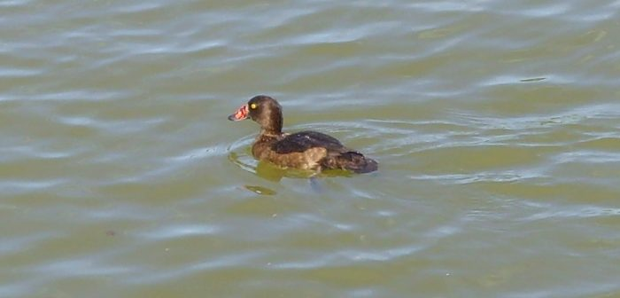 Tufted Duck with nasal saddle Red-1