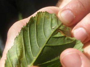 Hose Chestnut Leaf Miner