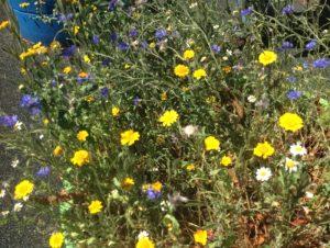Cornfield annuals