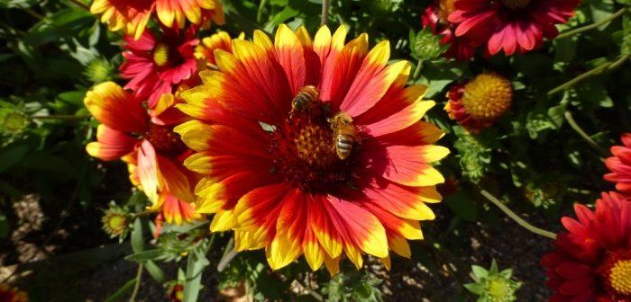 Honey bees on Gaillaria