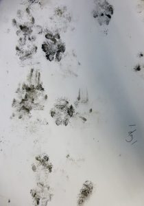 Cat footprints