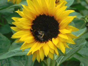 Buff-tailed Bumblebee on sunflower