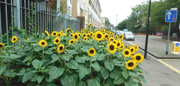 Sunflowers on Fern Street