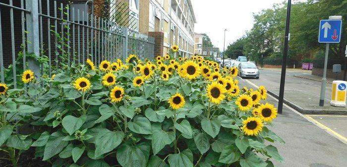 Sunflowers on Fern Street