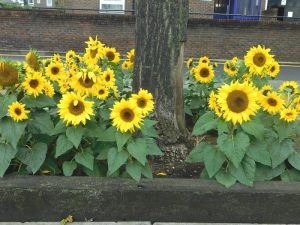 Sunflowers in tree pits