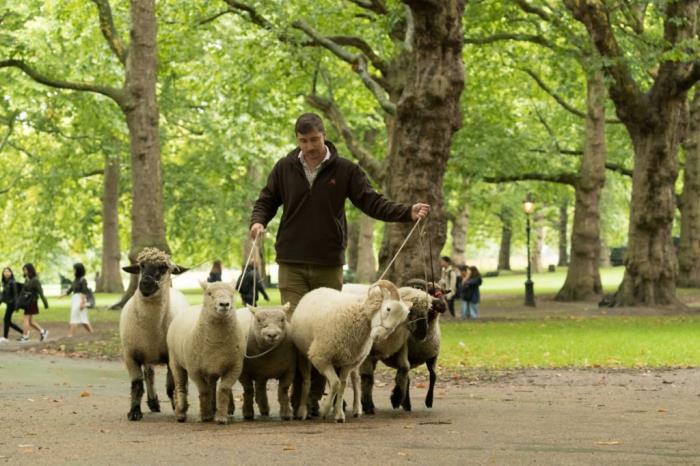 Mudchute sheep in Green Park