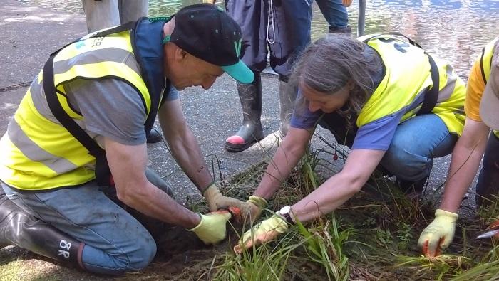 Volunteers planting floating reed bed
