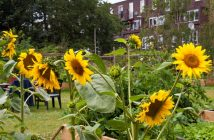 Sunflowers, Approach Gardens