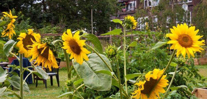 Sunflowers, Approach Gardens
