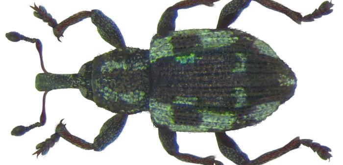 Tanysphyrus lemnae
