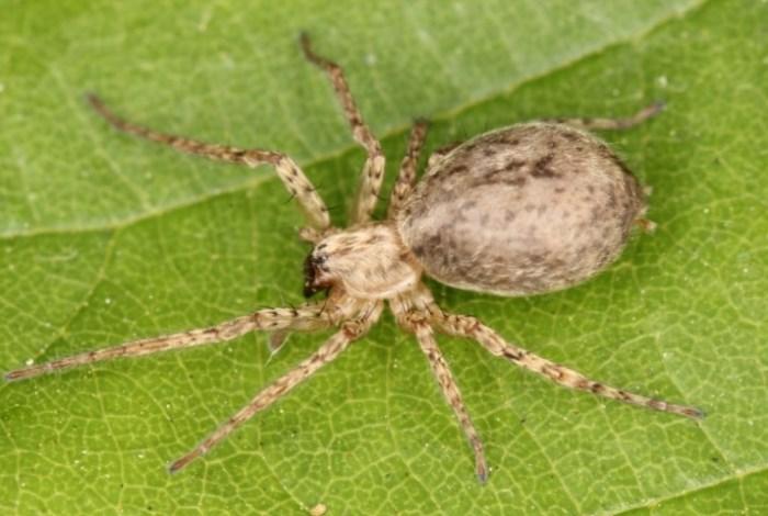 Anyphaena sabina