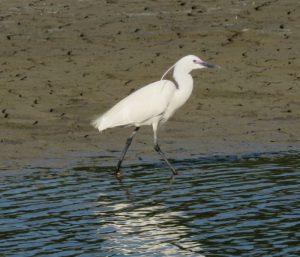 Little Egret in courtship plumage