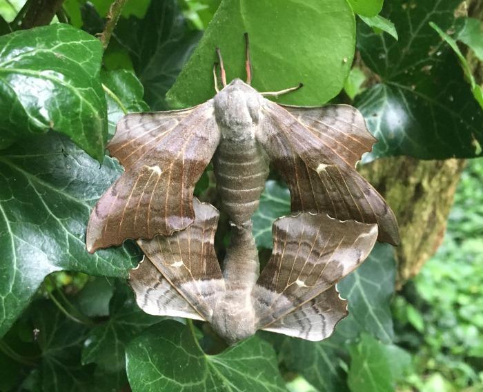 Poplar Hawk-moths mating