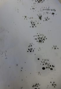Brown Rat footprints