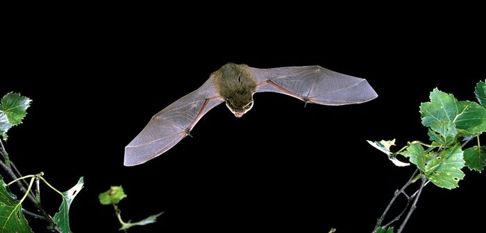 Common Pipistrelle bat