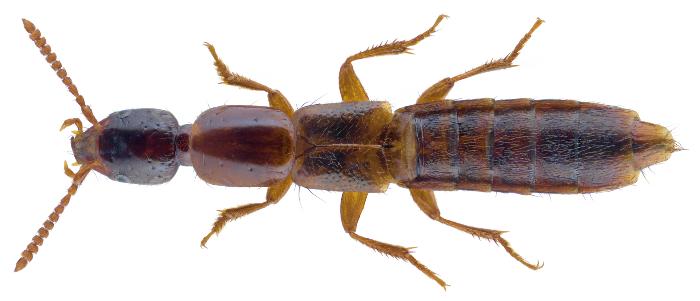 Othius subuliformis