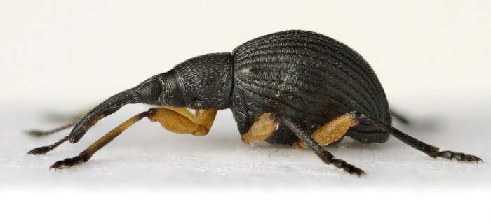 Clover Seed Weevil (Protapion apricans)