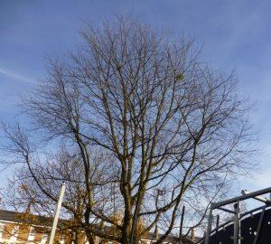 Mistletoe in maple tree