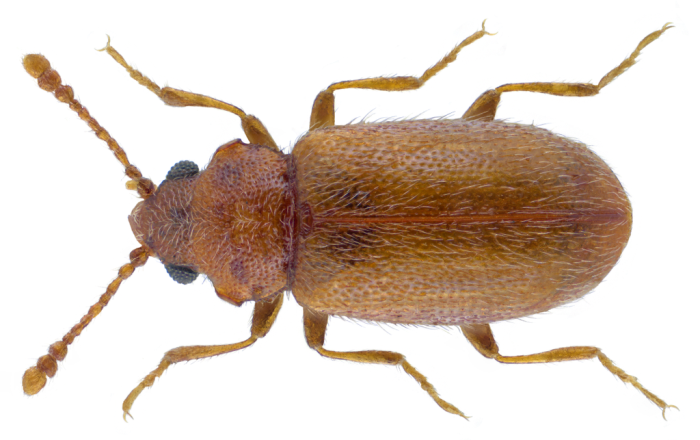 Micrambe ulicis