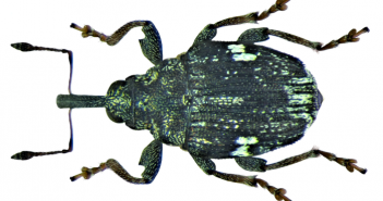 Mogulones asperifoliarum