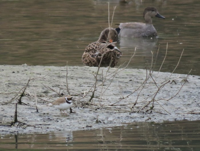 Little Ringed Plover & pair of Gadwall