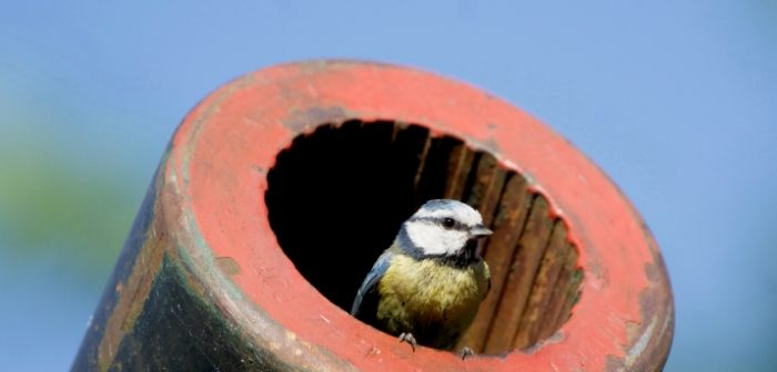 Blue Tit nesting in Ack-Ack gun
