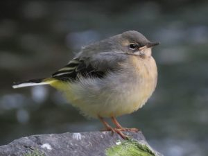 Grey Wagtail fledgeling