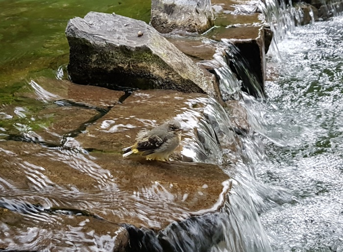 Fledgeling Grey Wagtail