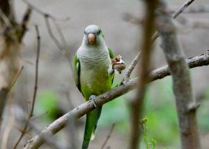 Monk Parakeet eating a snail