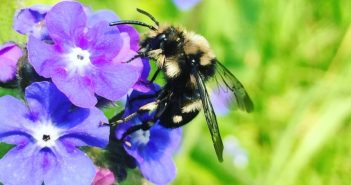 Mourning Bee (Melecta albifrons)