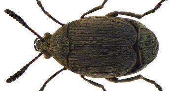 Bruchidius villosus
