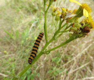 Cinnabar caterpillar on ragwort