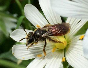 Andrena labiata bee