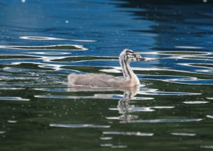 Great Crested Grebe chick