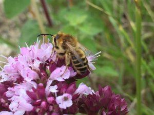 Clover Blunt-horn Bee