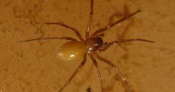 Lessertia dentichelis spider