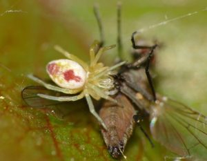 Nigma puella spider